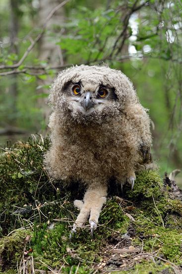 Eurasian Eagle Owl ( Bubo bubo ) cute young chick, jumped / ventured / wandered out of its nest, sti