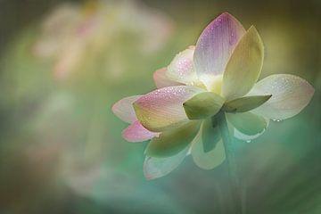 Zartheit einer Lotos Blume von Annette Hanl