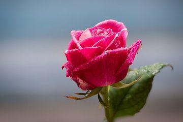 Roze roos met dauwdruppels van Laura Loeve