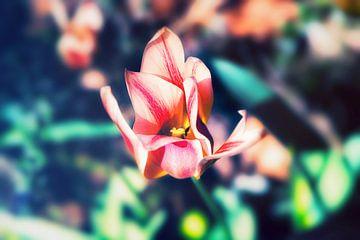 Blossom Gruga - Frühlings Tulpe Tulip in sanften Bokeh fotografiert von Jakob Baranowski - Off World Jack