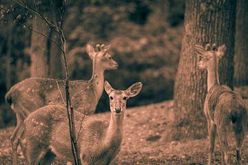 herten in het bos sur Bart Berendsen