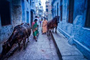 Heilige koeien in een steeg in de achterbuurten van Varanasi India. Wout Kok One2expose