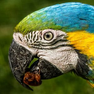 Hongerige papegaai van