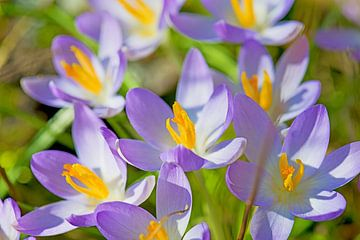 crocus, de paarse lentebode von Hanneke Luit