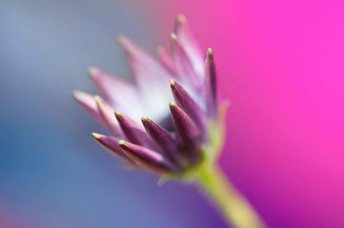 Spaanse margriet (Osteospermum ecklonis)