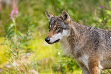 Wolf sur Pim Leijen