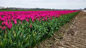 mooi tulpen veld van Hartsema fotografie