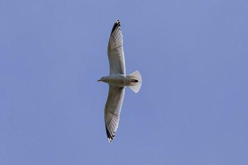 Overvliegende zeemeeuw tegen een heldere blauwe lucht