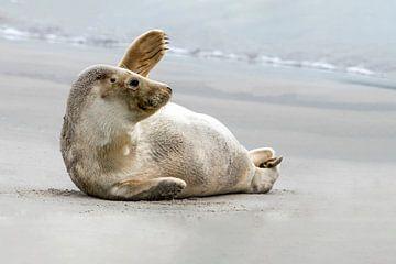 Zwaaiende zeehond op het strand. van Albert Beukhof