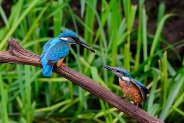 IJsvogel van Edwin Fennema