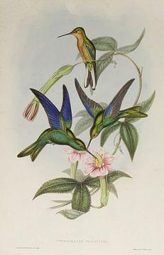 Familie van kolibries, John Gould van Teylers Museum