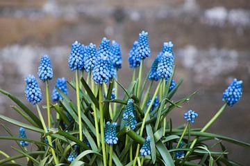 Des raisins bleus avec un look industriel et dur. Blue Magic Industrial. sur M.D. Jonk-Kwantes