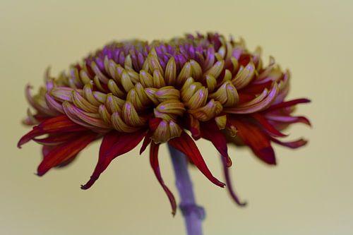 Rode chrysant tegen een lichte achtergrond van