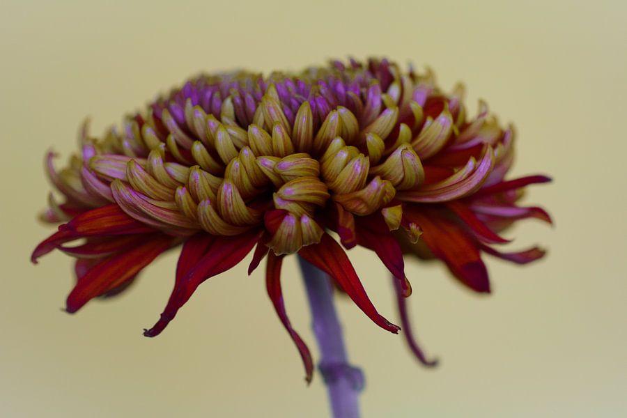 Rode chrysant tegen een lichte achtergrond van Lily Ploeg