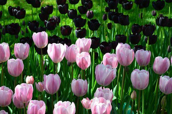 Roze en Zwarte Tulpen in Harmonie van Marcel van Duinen