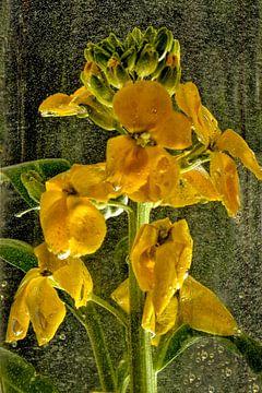 Goldwasser - Goldlack von Christine Nöhmeier