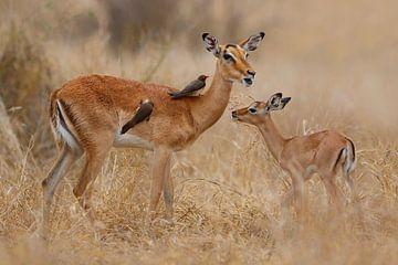 Impala mit Jungtier von Henk Bogaard