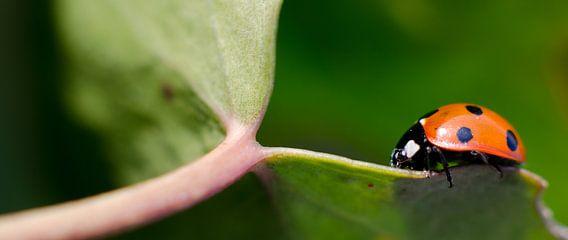 Lieveheersbeestje op groen blaadje van Christopher Lewis