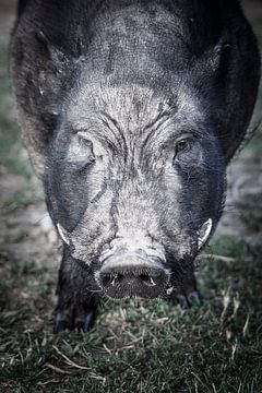 Schwein von Freddy Hoevers