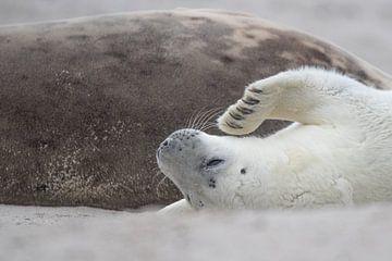 witte zeehonden puppy tegen moeder aan van Desirée Couwenberg