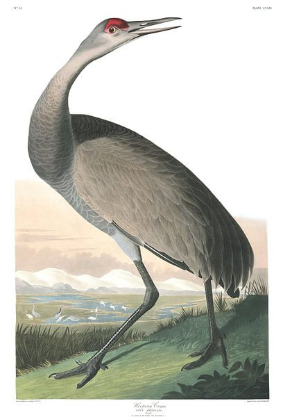 Canadese Kraanvogel van Birds of America