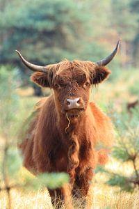 Nieuwsgierige schotse hooglander koe portret van