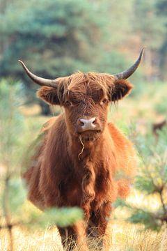 Nieuwsgierige schotse hooglander koe portret van Bobsphotography