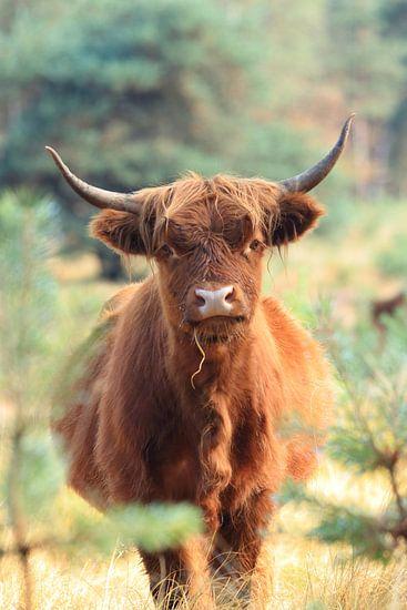 Nieuwsgierige schotse hooglander koe portret