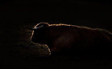 Schotse hooglander in het donker van natascha verbij