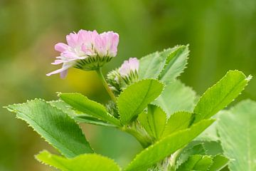 Persischer Klees (Trifolium resupinatum) von Alexander Ludwig