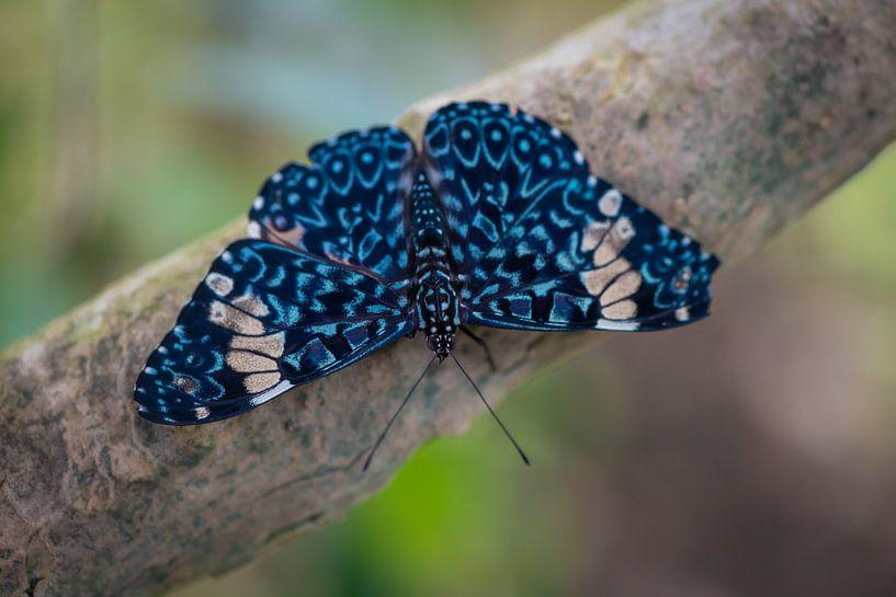 Close up vlinder op een tak van Ron Jobing