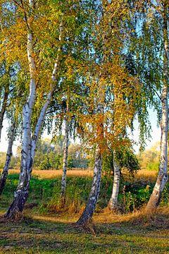 Gekleurde berken van Ostsee Bilder