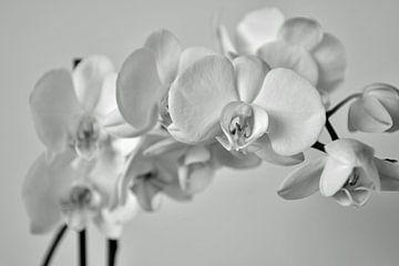 orchidee van johanna hibma