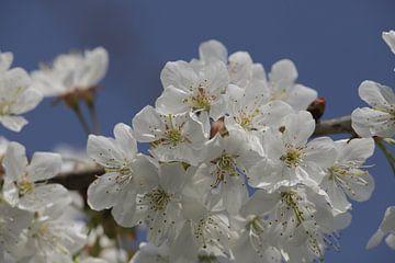 Witte kersenbloesem voor een blauwe lucht sur Cora Unk