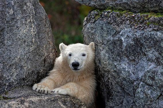 Polar Bear van Renald Bourque