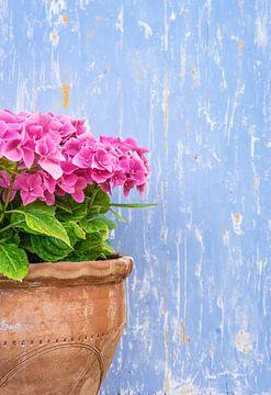 Roze hortensia in terracotta pot met rustieke blauwe houten achtergrond van Alex Winter