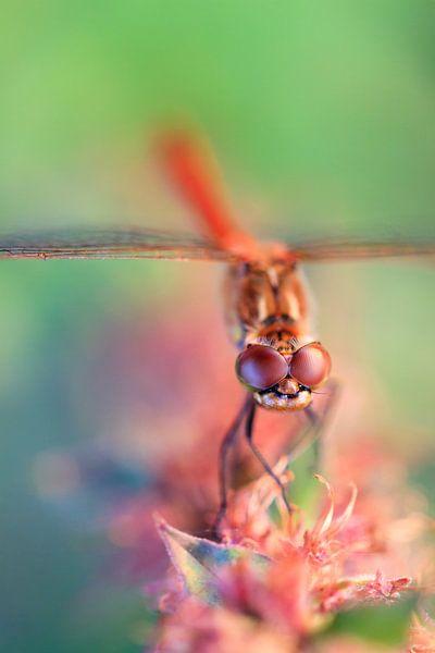 Bruinrode heidelibel van Dennis van de Water