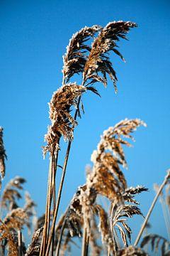 Reed-Plumes von Cora Unk