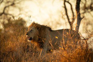 Leeuw sur