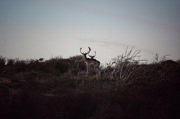 Hirsche in den Dünen von Noordwijk von Bram Jansen