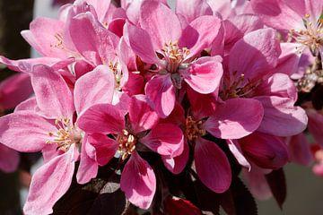 Tak met roze appelbloesem in het voorjaar van Ans van Heck