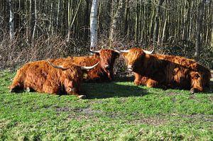 Schotse Hooglanders genieten van het zonnetje/Scottish Highlanders