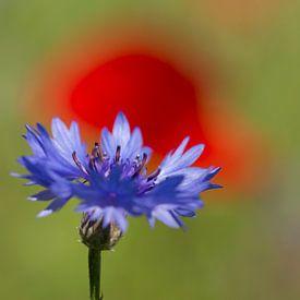 Korenbloem in rood van Tom Smit