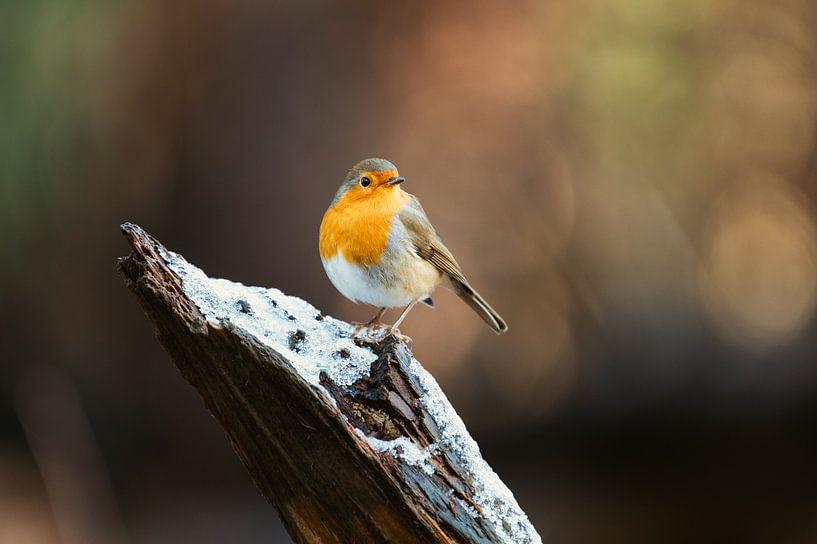 Robin à la pose imposante sur un tronc d'arbre sur Maarten Oerlemans