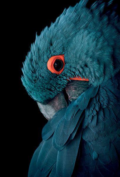 Blauwe ara vogel met vintage kleurstelling - Blauw - Papegaai - Ara - Kaketoe - Vogel - Vleugels - V van Hendrik Jonkman