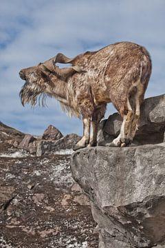Une chèvre à grosses cornes se tient seule sur un rocher, dans un paysage de montagne et dans le cie sur Michael Semenov