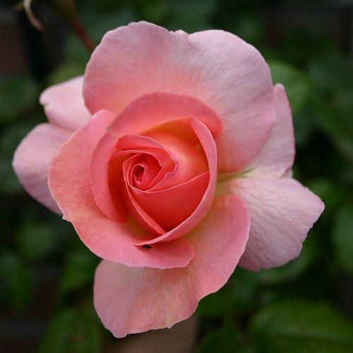 Rose (UK)