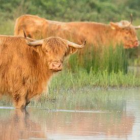 Schotse hooglanders in de ochtend van Karla Leeftink