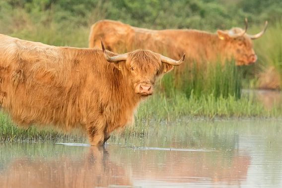 Schotse hooglanders in de ochtend