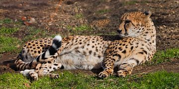 Un guépard paresseux à la peau orange éclairée par le soleil se couche dans l'herbe verte du printem sur Michael Semenov